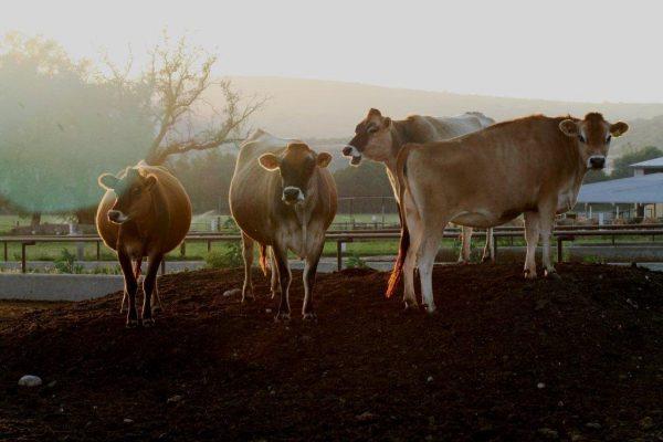 Vacas Aires de Campo